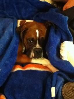 4 year old Boxer dog
