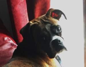 Boxer dog big eyes