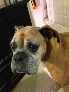 Boxer dog born 2002, 13 years and 7 months old