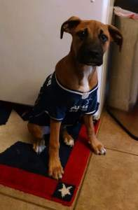 Boxer dog with shirt on