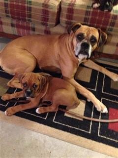 father and son boxer dogs
