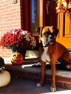 Boxer dog outside in fall time