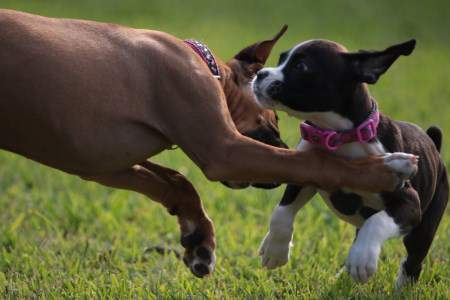 two Boxer dogs playing