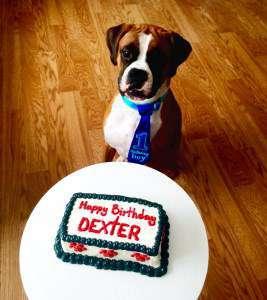 Boxer dog on birthday