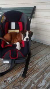 Boxer dog on rocking chair