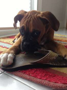 Boxer dog chewing shoe