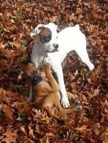 two Boxer dogs outside in leaves