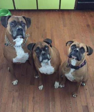 3 Boxer dogs