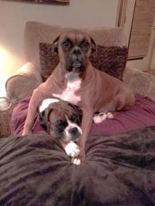multiple Boxer dogs