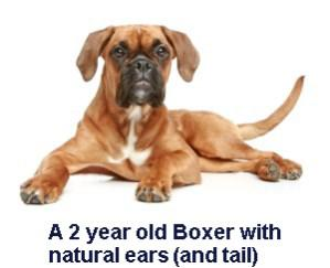 Boxer with natural ears