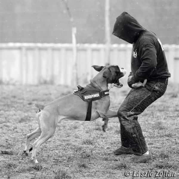 Boxer dog going after trainer