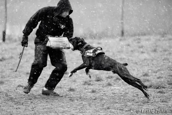 Boxer dog training in snow
