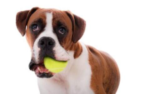 Boxer dog chewing on ball