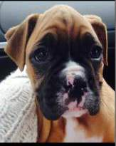 8 week old Boxer puppy