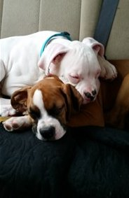 boxer dogs sleeping on each other