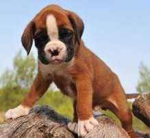 Red fawn colored Boxer puppy