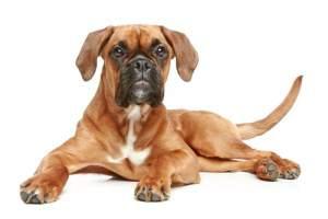 Fawn Boxer dog