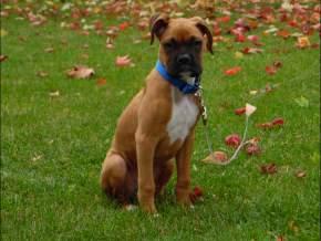 1 year old Boxer dog
