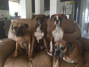 four Boxer dogs all ages