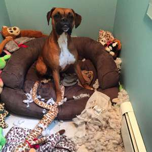 Boxer dog on doggie bed