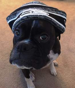 Boxer dog with hat