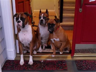 security-boxer-dogs