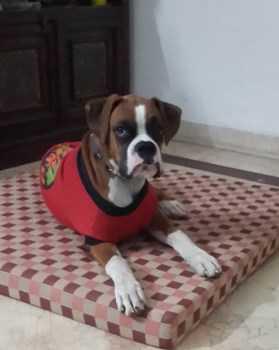 Boxer wearing coat
