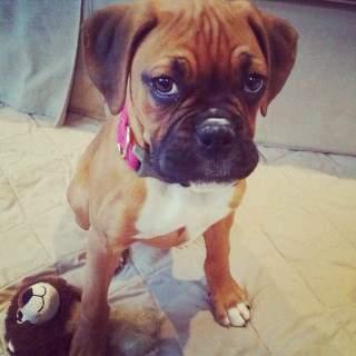 super cute Boxer puppy