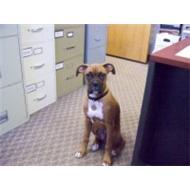 Adult Boxer dog