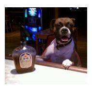 Funny Boxer dog