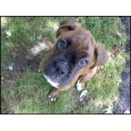 Cute Boxer pup