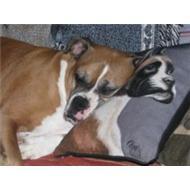 Boxer dog sleeping