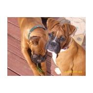 male and female Boxer dogs