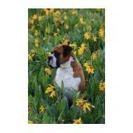 Nice Boxer dog