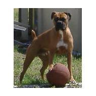 large Boxer dog