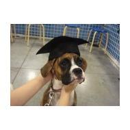 Boxer puppy school