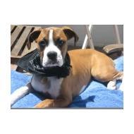 Boxer with bandana