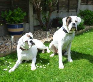 Boxer dogs in yard