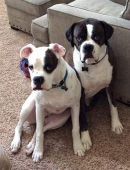 two white boxer dogs