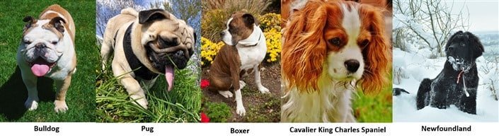 Brachycephalic dog breeds including Boxer dog