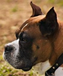 Boxer dog with cropped ears