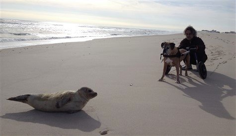 boxer-dog-with-seal-at-beach