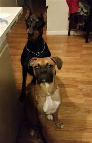 Boxer-dog-with-Doberman