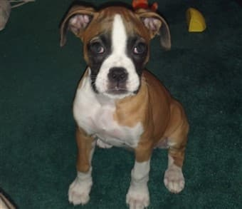 Boxer-puppy-at-4-months-old