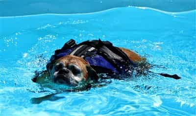 a-boxer-dog-with-DM-swimming