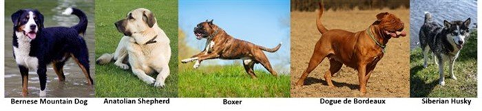 Boxer dog compared to other working breeds