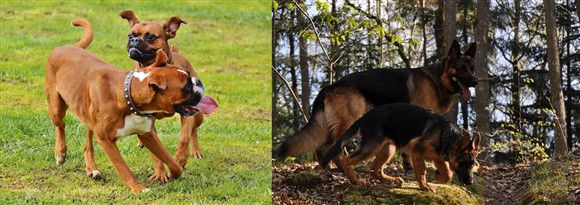 boxer-dog-vs-german-shepherd-01