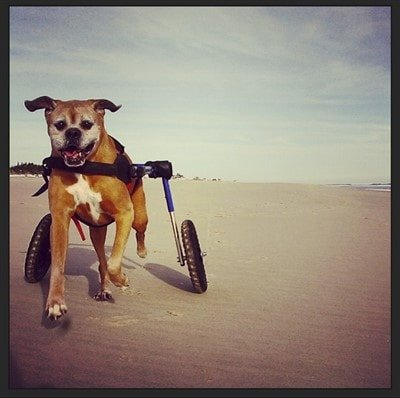 boxer dog running in wheelchair