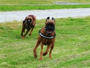 boxer-dogs-running