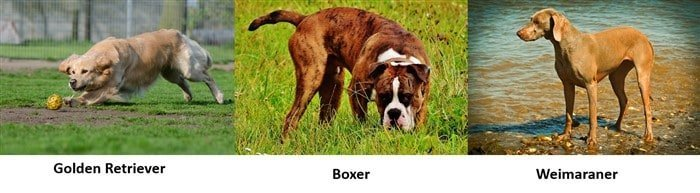 dogs-same-size-as-boxer-dog